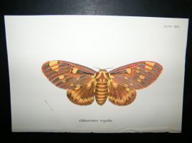 Allen & Kirby 1890's Antique Moth Print. Citheronia Regalis